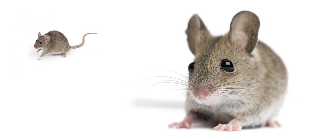 MICE - Red Centre Pest Control